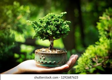 Sekka Hinoki bonsai in Hand