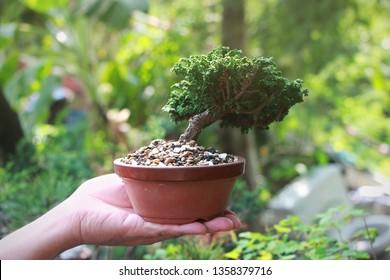 Sekka Hinoki Japanese bonsai Tree on Hand, Background in the garden.