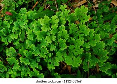 Selaginella involvens (Sw.) Spring Fern