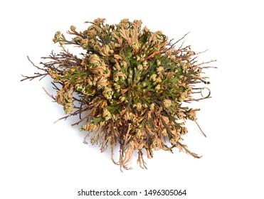 Selaginella lepidophylla or Lycopodium lepidophyllum. Flower of stone, false rose of Jericho, rose of Jericho, resurrection plant, resurrection moss, dinosaur plant, siempre viva, and doradilla.