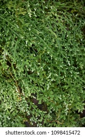 Selaginella serpens closeup