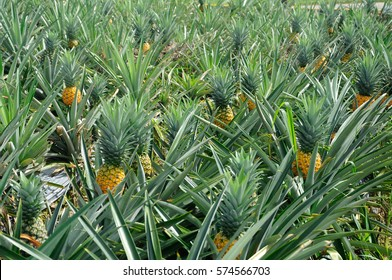 SELANGOR, MALAYSIA –DECEMBER 03, 2016 : View of ripe pineapple fruit in the farms located in Serdang, Malaysia.