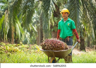 Selangor , Malaysia 21 June 2014: A plantation worker collecting palm fruit.
