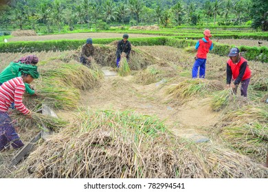 """Selat, Karangasem, Bali, Indonesia - December 2017: Traditional Balinese farmer do rice harvest on the rice field using traditional technique called """"Manyi"""""""