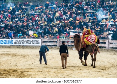Selcuk, Turkey - January 21, 2018 :People are watching camel wrestling in Selcuk Arena. Camel wrestling is populer attraction in Aegean part of Turkey.