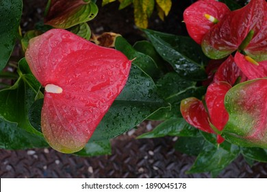 Select an anthurium focus point with water droplets attached to a red heart-shaped flower. Dark green leaves as a background make the flowers stand out beautifully. Anthurium is a symbol of hospitalit