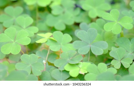 select focus clover green leaves background