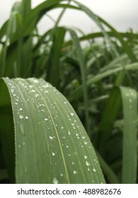 select focus on the rain drop onto the green sugarcane leaves in the sugarcane field