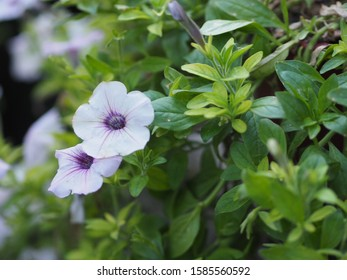 select of focus violet wave silver color Petunia Hybrida, Solanaceae, name flower bouquet beautiful on blurred of nature background Flowers are single flowers shape is a cone, long neck flower