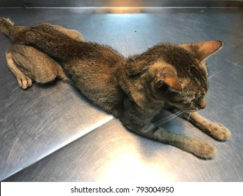 Selected focus, noisy and soft image of skinny or emaciated cat due to imbalanced diet being treated by vet at veterinary clinic