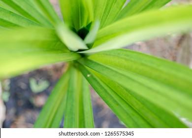 Selected focus of the pandan leaves or daun pandan