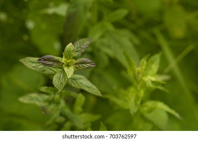 Selected peppermint leaves. Wild peppermint plant.