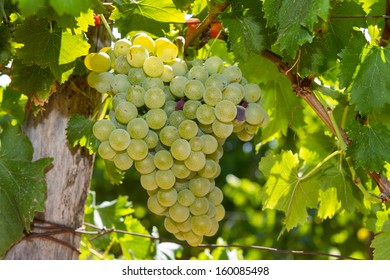 Selected varieties of healthy, ripe and juicy white grapes ready to be harvested.