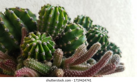 A selection of cacti of different kinds with off-white background. Closeup view of long cactus.