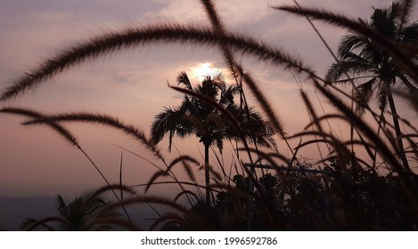 Selection focus on Pennisetum villosum is a species of flowering plant in the grass family Poaceae, known by the common name feathertop grass or just feathertop.with the sunset background
