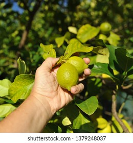 Selection handpicked lemons. Ecological cultivation