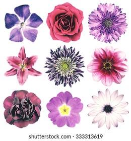 Selection of Various Flowers in Purple Vintage Retro Style Isolated on White Background. Daisy, Chrystanthemum, Cornflower, Dahlia, Iberis, Primrose, Gerbera, Rose.