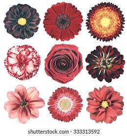 Selection of Various Flowers in Red Vintage Retro Style Isolated on White Background. Daisy, Chrystanthemum, Cornflower, Dahlia, Iberis, Primrose, Gerbera, Rose.