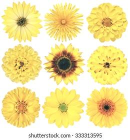 Selection of Various Flowers in Yellow Vintage Retro Style Isolated on White Background. Daisy, Chrystanthemum, Cornflower, Dahlia, Iberis, Primrose, Gerbera, Rose.