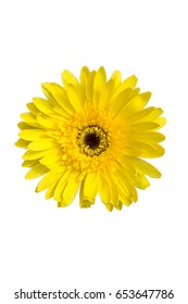 selection of yellow gerbera on white background
