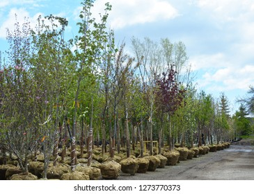 A selection of young hardwood trees at a garden nursery.
