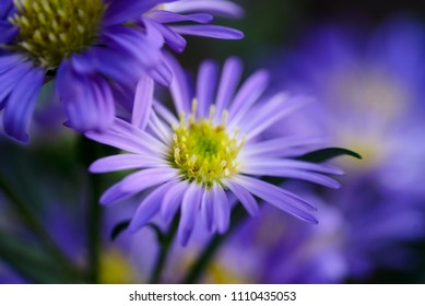 Selective focus of the Alpine Aster or Aster alpinus, Soft focus of The violet asters flowers blooming in English garden, Magenta or Purple flowers for Summer
