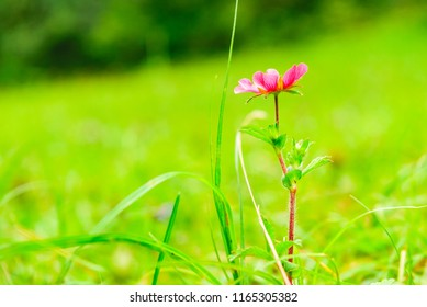 Selective focus alpine meadow flower with blurry backgroud, beautiful fresh morning  at high altitude alpine region of himalayas, Himachal Pradesh. Spring landscape blurry natural background.