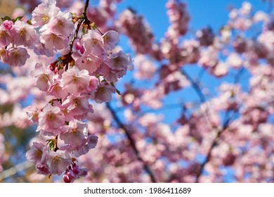 Selective focus of beautiful branches of pink Cherry blossoms on the tree under blue sky, Beautiful Sakura flowers during spring season in the park, Flora pattern texture, Nature floral background.