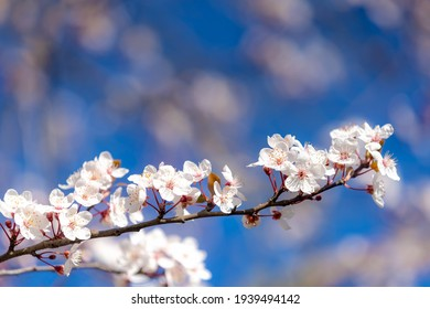 Selective focus of beautiful branches of white Cherry blossoms on the tree under blue sky, Beautiful Sakura flowers during spring season in the park, Flora pattern texture, Nature floral background.