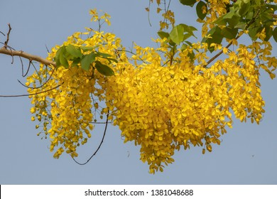 Selective focus beautiful Cassia Fistula flower blooming in a garden.Also called Golden Shower,Purging Cassia or Indian laburnum.Close up yellow flower in summer season.