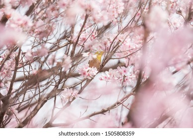 Selective focus of Beautiful cherry blossom
