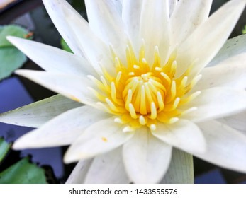 Selective focus of beautiful European white water lily ,white water rose, white nenuphar (Nymphaea alba) is aquatic flowering plant known commonly as water lilies ,waterlilies in Nymphaeaceae family