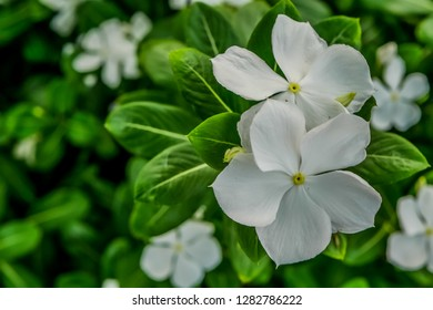 Selective focus beautiful white Catharanthus roseus (rose periwinkle, rosy periwinkle) flowers with green leaves.