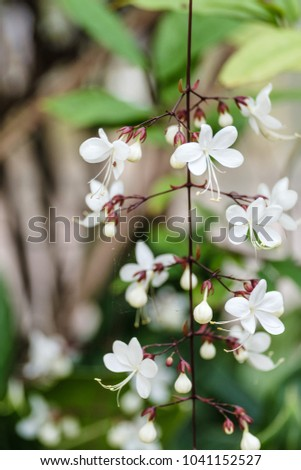 Selective focus beautiful white flowers vines stock photo edit now selective focus of beautiful white flowers vines or nodding clerodendron or bridal veil with close up mightylinksfo