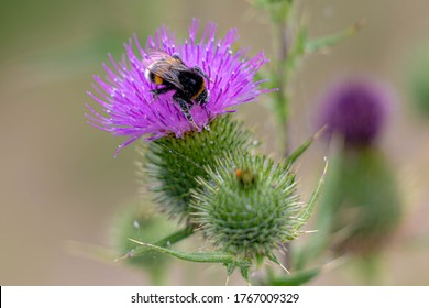Selective focus of beautiful wild bumble bee sucking pollen from Cirsium vulgare or the spear thistle on the green meadow, Close Up a western honey on purple flower of Carduus acanthoides.