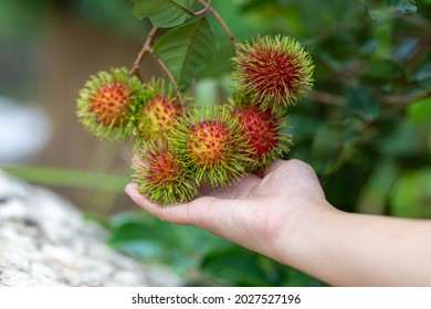 selective focus big red rambutan in the hand of a farmer woman Rambutan begins to ripen, large fruit growing on the tree. Chiang Mai Agricultural Park, Thailand