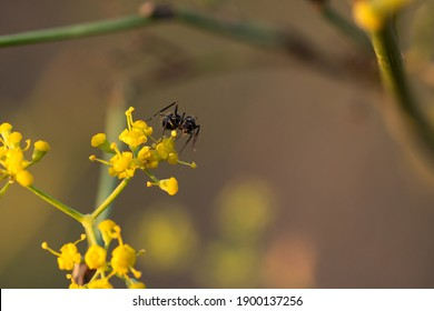 Selective focus black ants eating on a branch of yellow flowers Behavior of ants. The worker ants are there working.