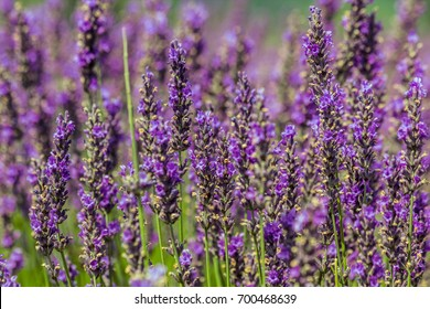 """Selective focus of blooming Lavender plants at """"Bleu Lavande"""" in Fitch Bay Quebec, Canada"""