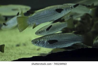 Selective focus. Blue-Tail Mullet or (Belanak fish) at aquarium.