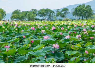 Selective focus blurred of Pink Lotus flower and Lotus flower plants,Pink lotus pond scenery