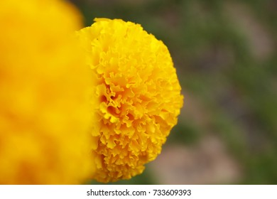 selective focus and  blurry close up  of Marigolds flowers Yellow Flower. Marigold flowers King Rama 9 Thailand