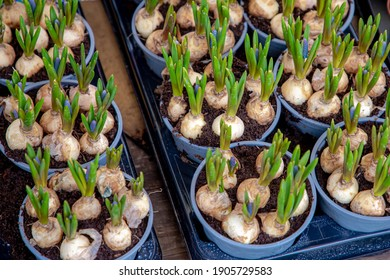 Selective focus of bulbs and sprout of Grape hyacinth (Druifhyacint) flowers in the pots, Muscari is a genus of perennial bulbous plants, Common name for the genus is grape hyacinth, Nature background