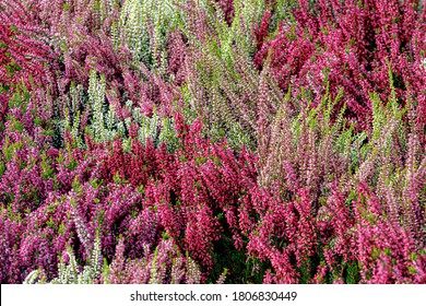 Selective focus bush of wild purple flowers Calluna vulgaris (heath, ling or simply heather) is the sole species in the genus Calluna in the flowering plant family Ericaceae, Nature floral background.