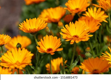 Selective focus of Calendula officinalis with orange petals blossom, Pot marigold flowers with warm yellow colour in the garden, Nature floral background.