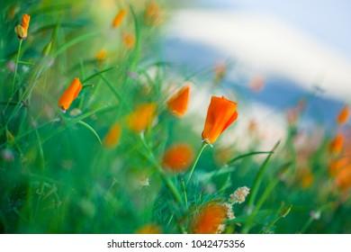 Selective focus California Poppies (Eschscholzia californica)