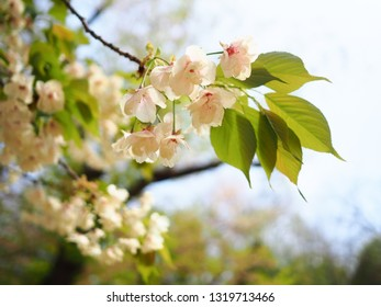 Selective focus of cherry blossom (sakura) branch in spring season of Japan with green leaf