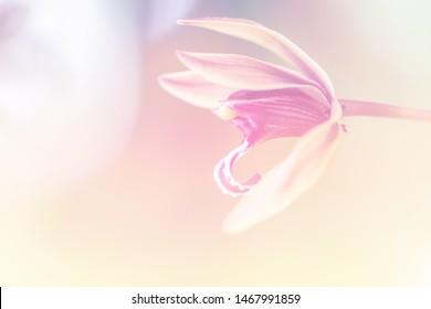 Selective focus close up Cymbidium aloifolium orchid flower.Beautiful flower soft blur color for background.