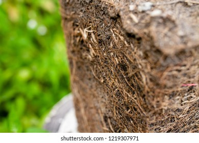 Selective focus Close up The Lumps of soil used to be in pots shape in the trapezoid. Show the soil layer of the roots of the tree.