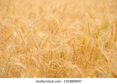 Wheat Field Blur Stock Photos Images Photography