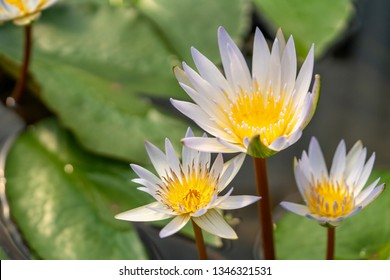 Selective focus close up shot of three white purple lotus flower with lotus leaf in clear water pond with morning sunlight. The meaning of purity and devotion in buddhism.